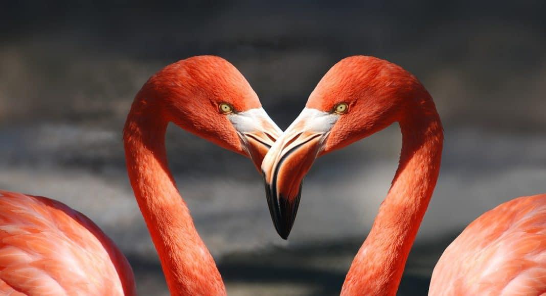 Flamingos führen einen spannenden Paarungstanz auf.