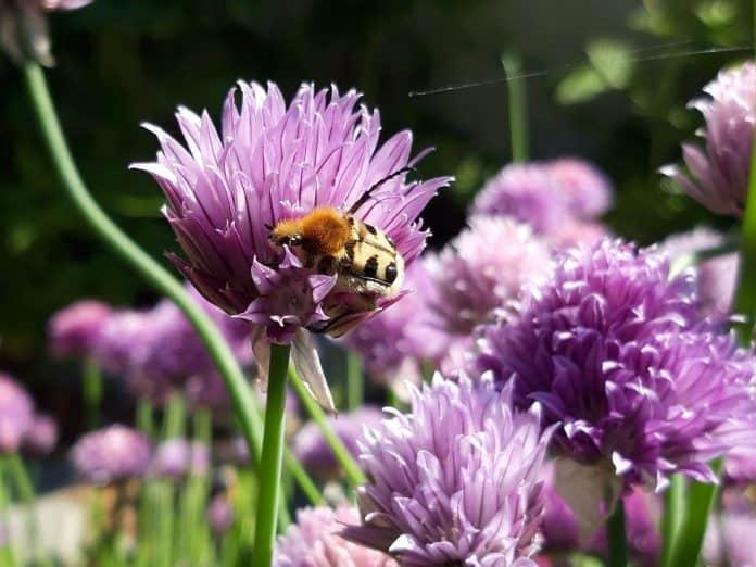 Käfer oder Biene?  1