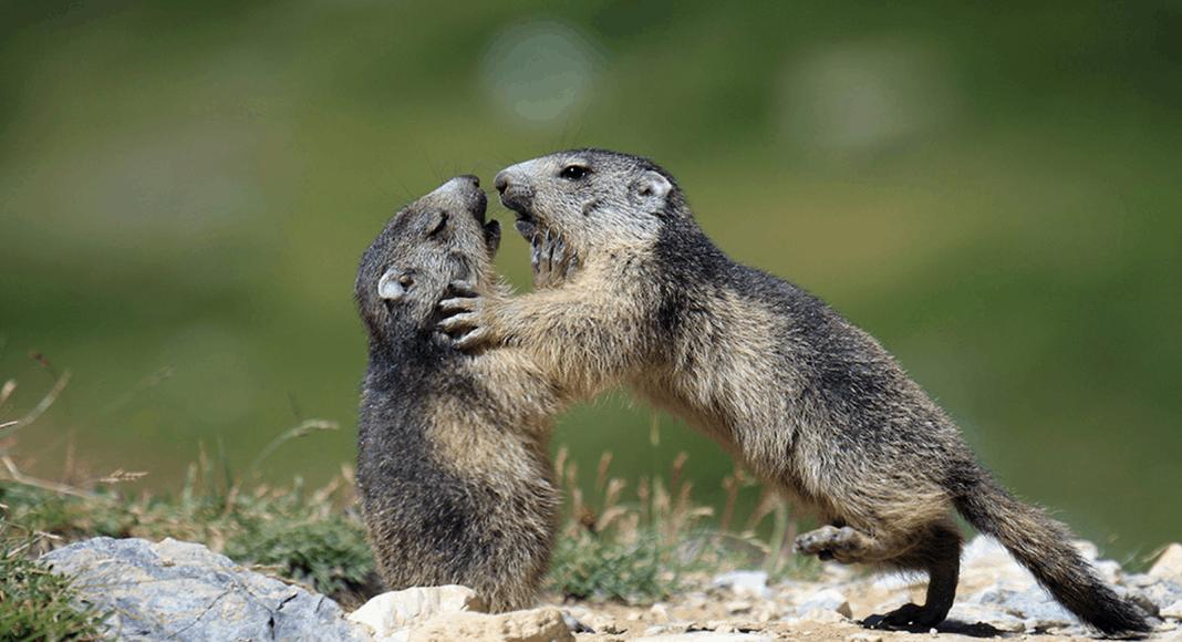 Die Murmeltiere haben eine geringe genetische Vielfalt.