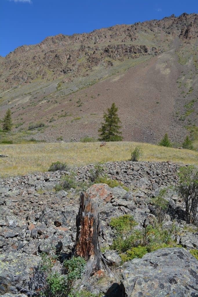 Sehr alter Fichten-Stumpf im Altai Gebirge.