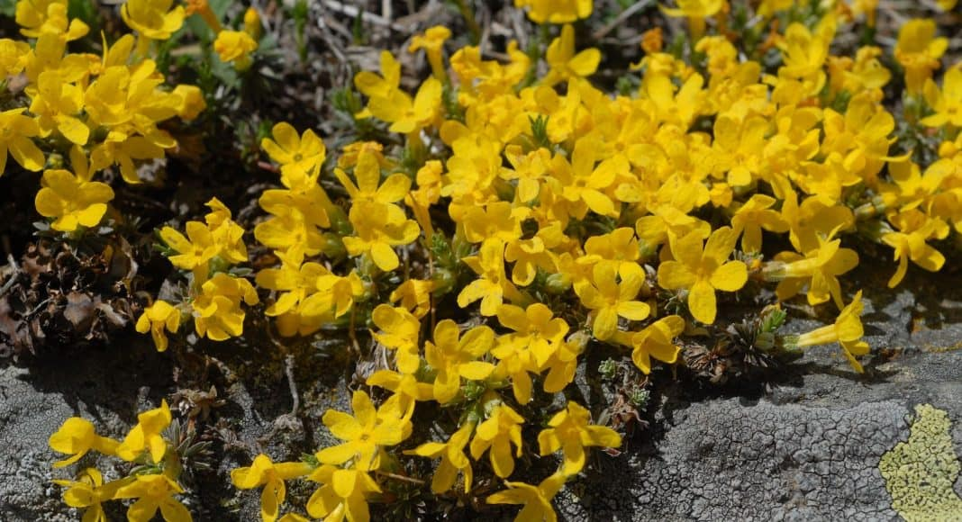 Die Goldprimel ist eine Pflanzenart aus der Gattung Mannsschild.