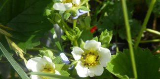 Rapsglanzkäfer an Erdbeerpflanzen.