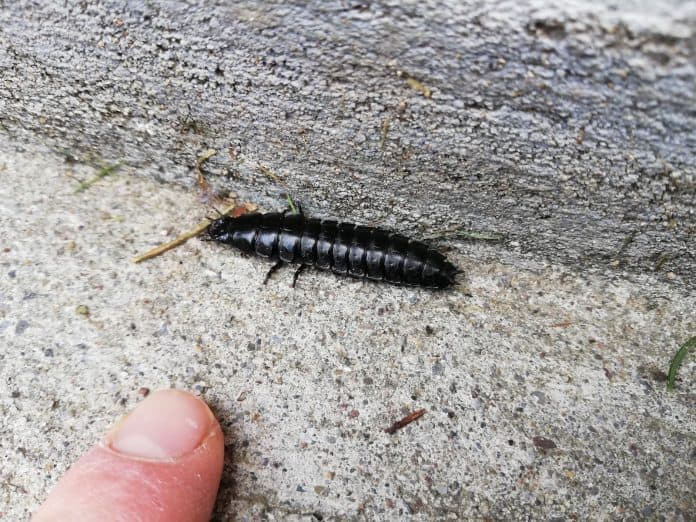 Um was für ein Insekt handelt es sich hier?  1