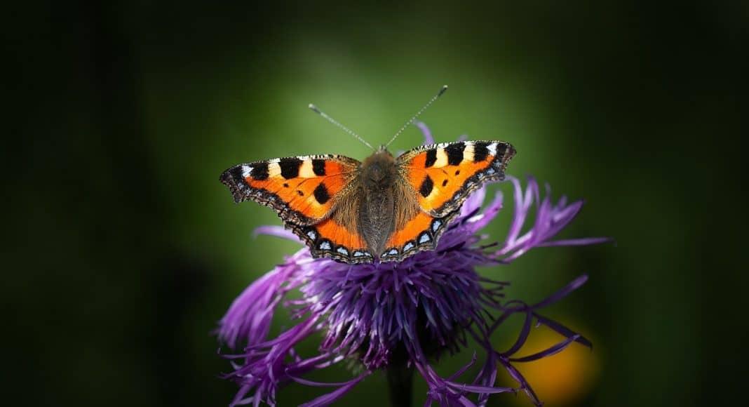 Der Schmetterling kleiner Fuchs.