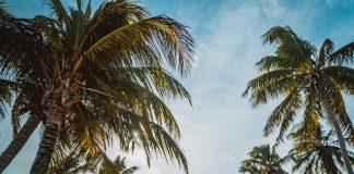 Palmen sind vielfältig brauchbar.