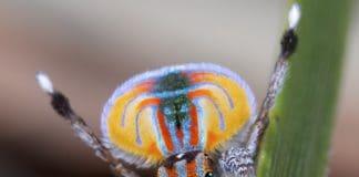 Die Pfauenspinnen liefern einen coolen Tanz ab, um das Weibchen zu beeindrucken.