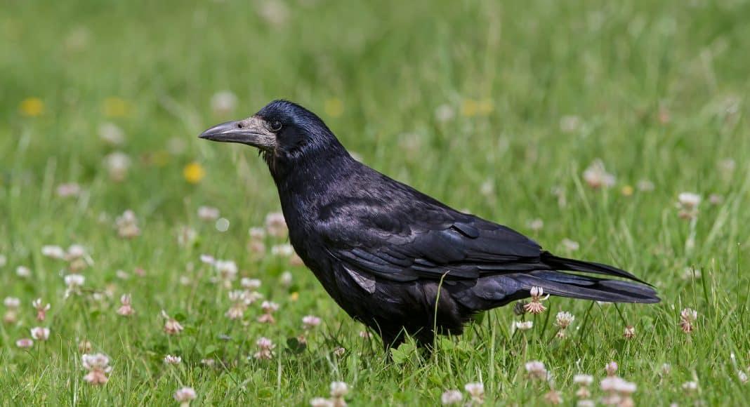 Saatkrähe gehört zu den Rabenvögeln und zu den Singvögeln.