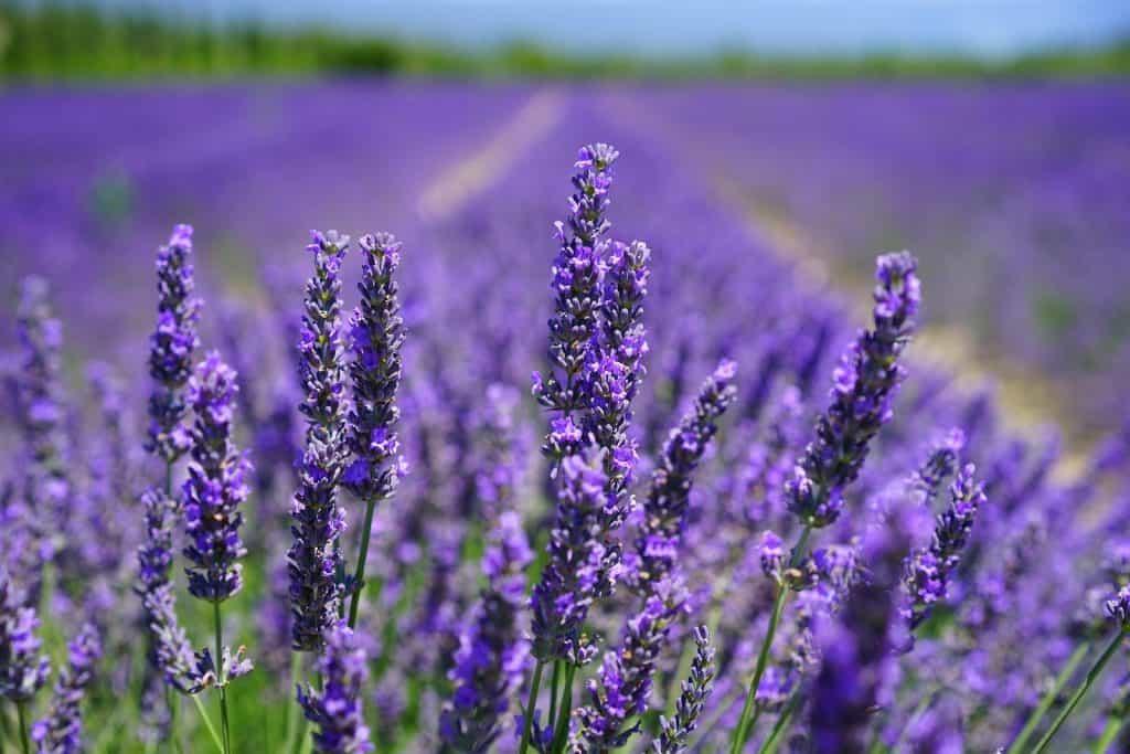 Lavendel gibt einen guten Duft.