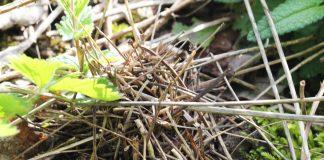 Nest einer Wildbiene.