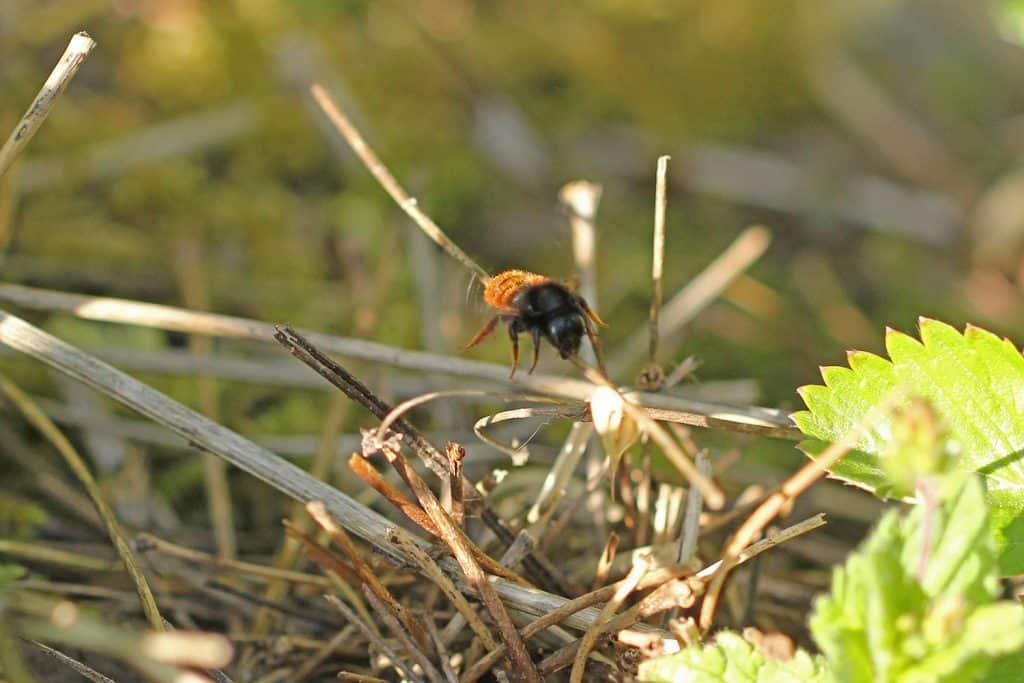 Eine Wildbiene im Anflug auf kleine Äste im Garten.