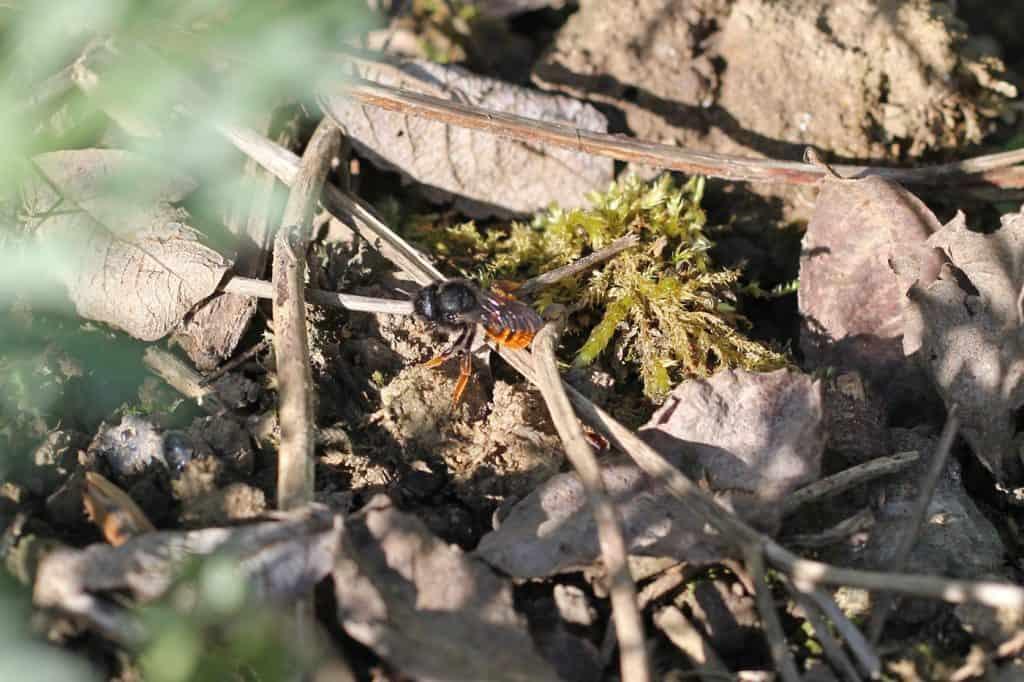 Wildbiene ist im Garten gelandet, auf der Suche nach Material.