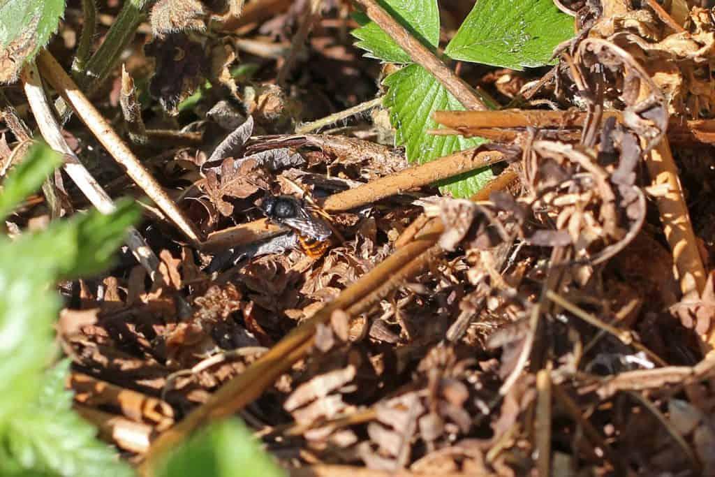 Wildbiene sammelt Stängel, um ihr Nest zu tarnen.