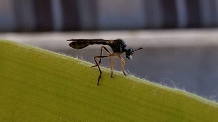 Was für ein Insekt leistete mir hier Gesellschaft?  1