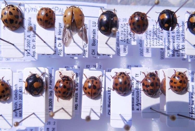 Asiatische Marienkäfer gehört zu den Neozoen.