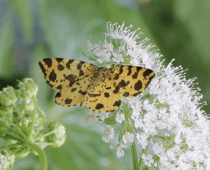 Kennt jemand diesen Schmetterling?  1