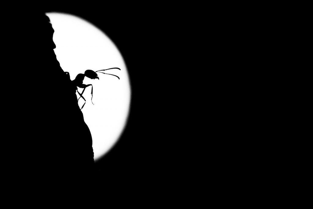 Ameise einer Ameisenstrasse im Mondlicht.