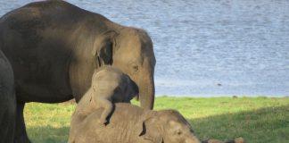 Elefanten Babies spielen miteinander.