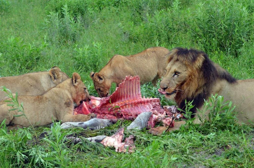 Die Löwen fressen alle zusammen an einem Kadaver.