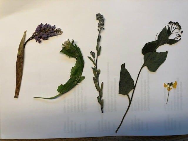 Pflanzen für ein Herbarium bestimmen  1