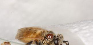 Milben und Pflanzenschutzmittel sind schlecht für die Honigbienen.