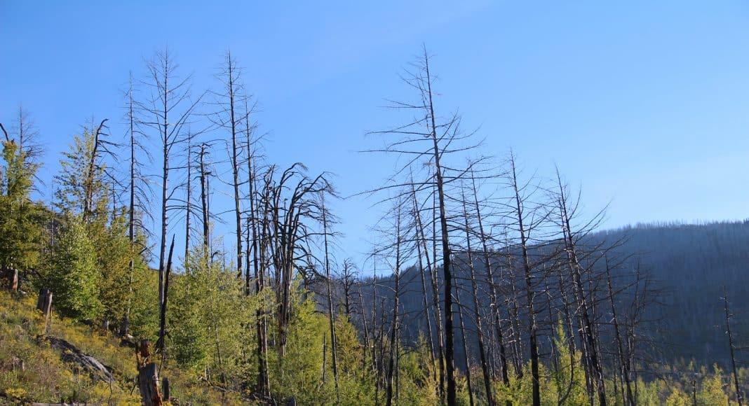 Der Waldbrand in Leuk hat einigen Arten zum Aufschwung verholfen.