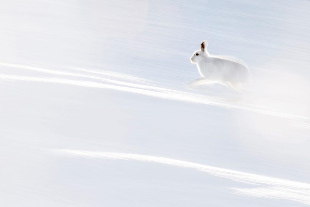 Ein Schneehase in Schottland.