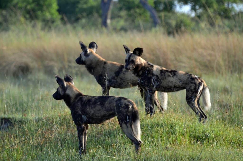 Wildhunde in der Prärie, besitzen ein grosses Hirn.