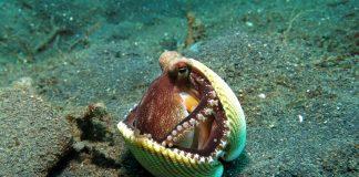 Der Oktopus ist das intelligenteste Weichtier.