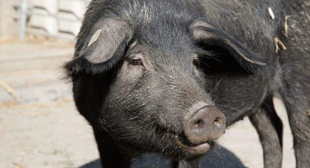 Die Schwarzen Alpenschweine kehren in die Schweiz zurück 1