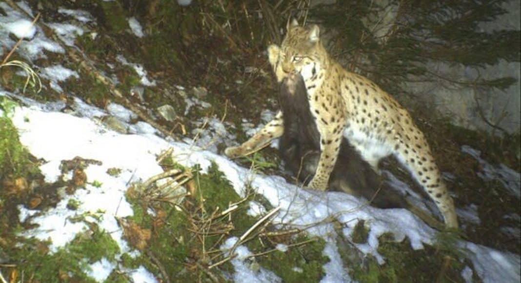 Jagd und Luchs haben limitierenden Einfluss auf Gämsbestände 1