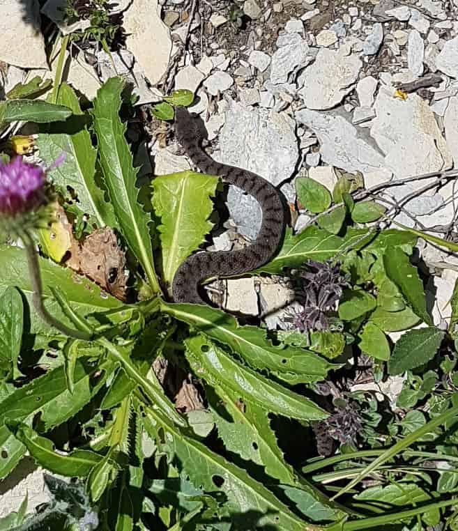Kleine Schlange auf der Schynigen Platte 1