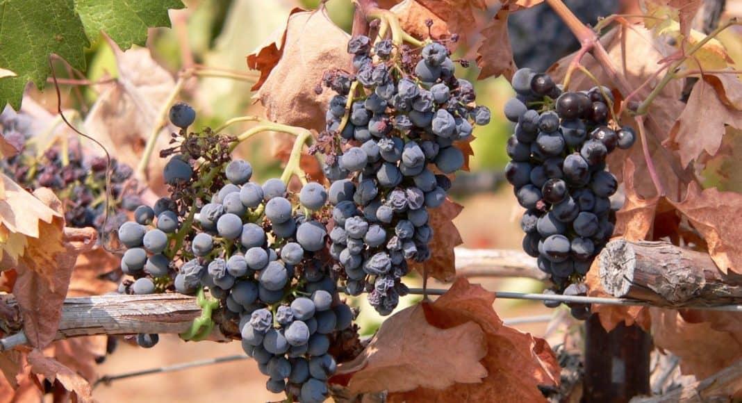 Traubenernte im Burgund belegt beschleunigte Klimaerwärmung 1