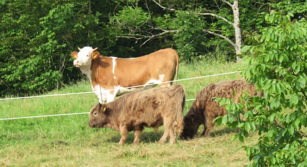 Die Kuh bestimmt mit, welches Kraut wächst 1