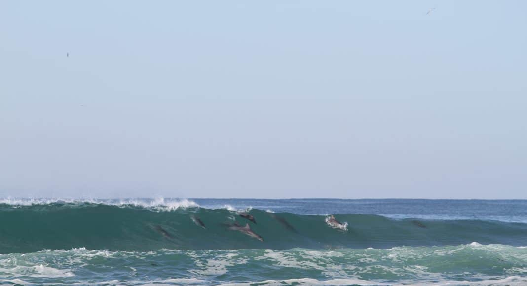 Delfine beim Surfen in Samba