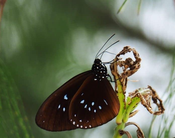 Schmetterling auf den Salomonen 1