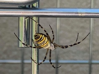 Spinne mit Nest? 1