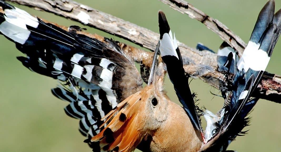 An den Leimruten bleiben die Vögel kleben.