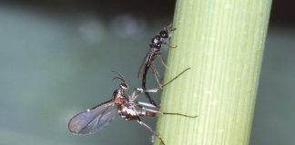 Die Ballmücke und ihr Parasitoid, eine Zehrwespe
