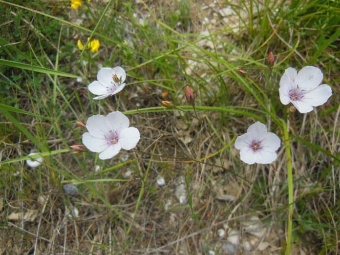 Blume am Lötschberg 1