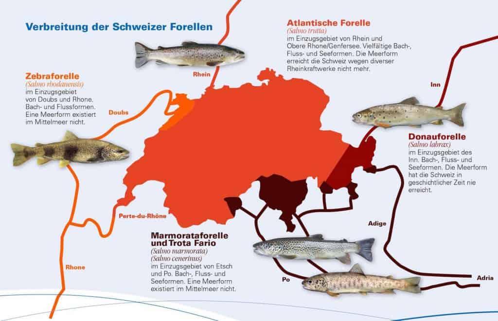 Forelle_Fisch_des_Jahres_2020