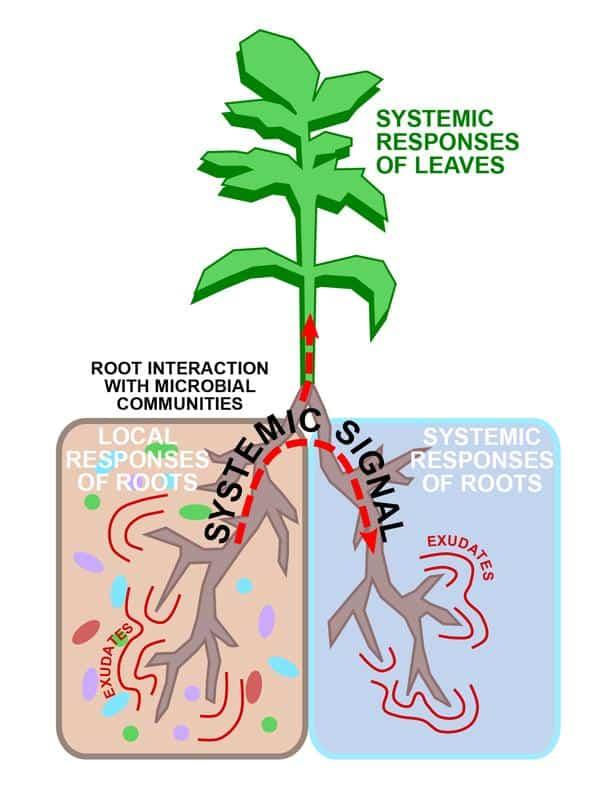 split-roots