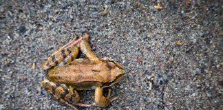 Frosch_Strassenüberquerung