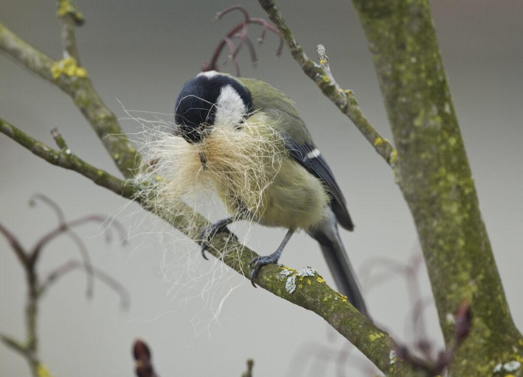 Kohlmeisen-Weibchen mit Nistmaterial