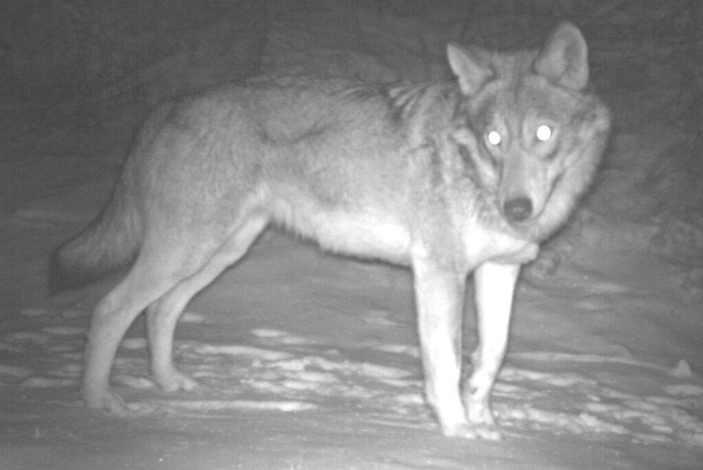 Fotofalle Wolf