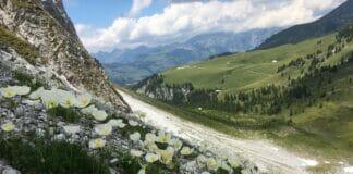 Westlicher Alpenmohn