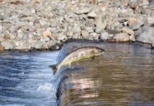 Fische leiden unter Trockenheit
