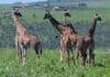 Menschen beeintraechtigen das Sozialleben von Giraffen