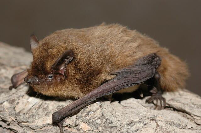 Hohe Todesraten wandernder Fledermäuse wegen Windparks