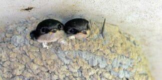 Zwei Schwalben im Nest