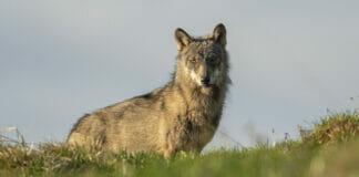 Wolf in Graubünden